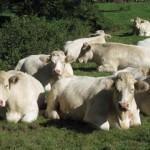 シャロレー牛のスネ肉が手に入ったので、ルーを使わないビーフシチュー作りに挑戦♪