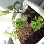 【発泡スチロールを再利用して家庭菜園始めてみました。】